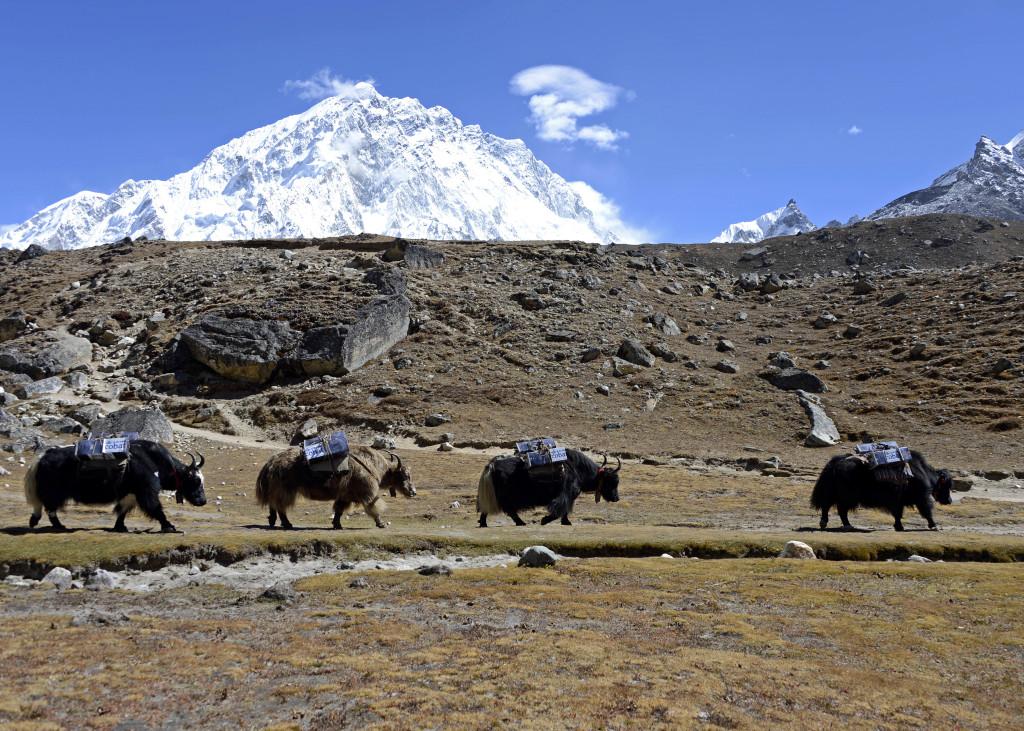 09 Un passo dopo l'altro_Yak della spedizione sotto al monte Nuptse nella valle del Khumbu a 4930 mt Nepal_ eds