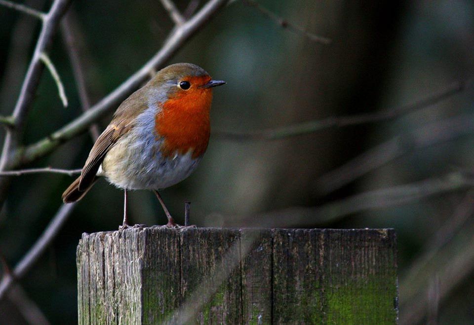 Birdgardening: pettirosso