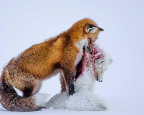 Cambiamenti climatici: volpe in predazione