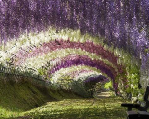 Tunnel di alberi: glicini in Giappone