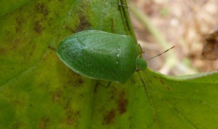 Insetto adulto, cimice verde