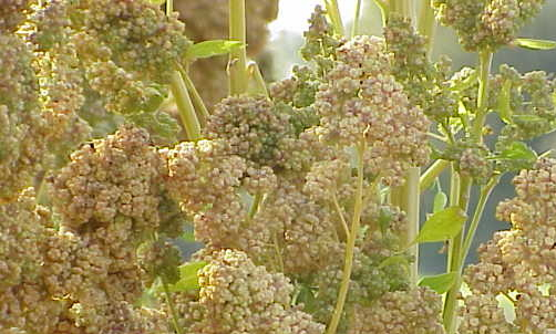 Chenopodium quinoa: la pianta da cui si ottiene questo super alimento