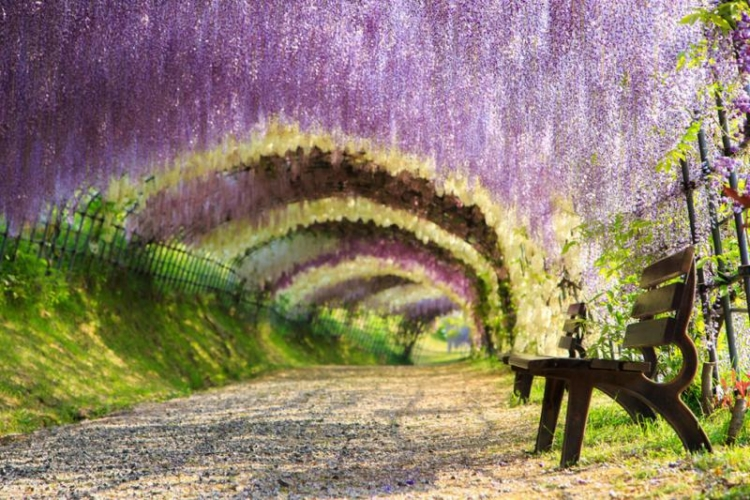 Dk-Kazunoki-Wisteria-tunnel-fujo-garden-750x500.jpg
