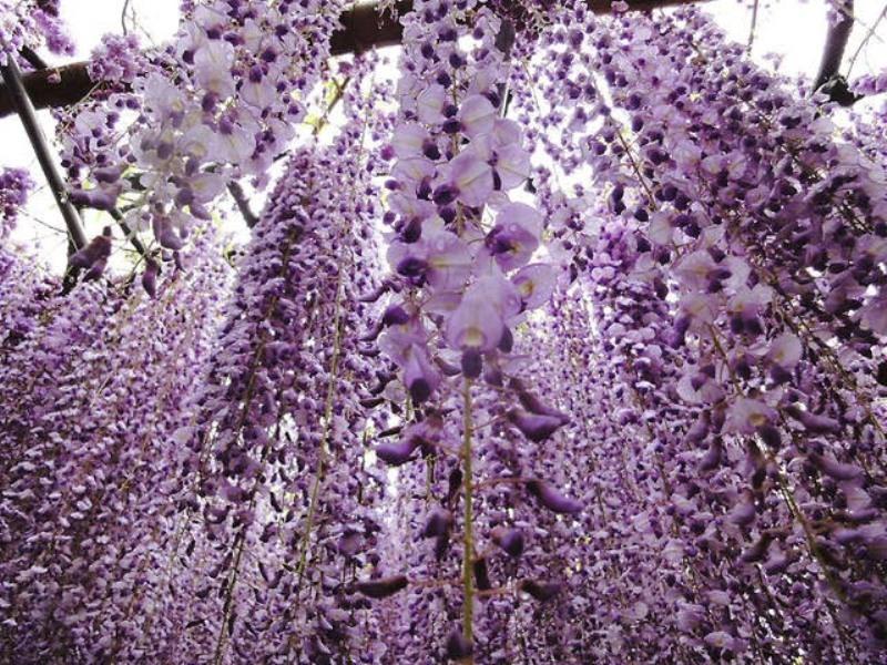 glicine foto by travelnotesbloglive.blogspot.it