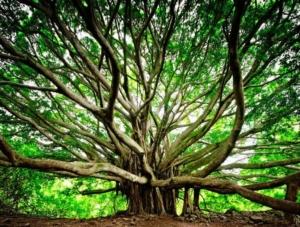 Banyan tree - Ficus del Bengala