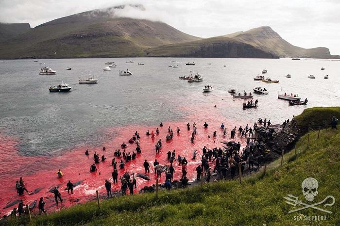 grindadrap-isole-faroe-sea-sheperd-globicefali