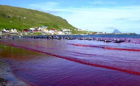 grindadrap-red-sea