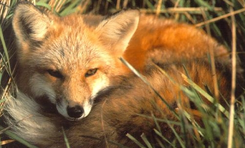 Le pellicce delle volpi, come quelle dei visoni, sono alcune tra le più utilizzate.