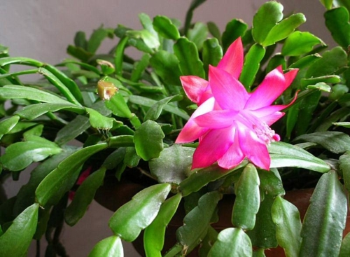 Schlumbergera. Foto: unsitodelcactus.it