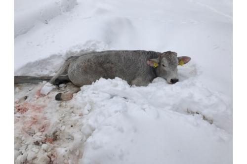 Mucca ferita. Foto: coldiretti.it