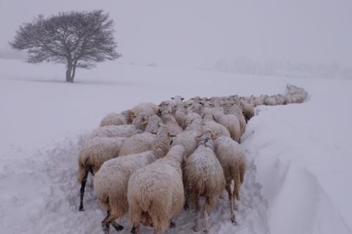 Foto dell'Azienda Agricola Scolastici postata sulla loro pagina fb il 17 gennaio. Il giorno dopo, sempre loro informavano della tempesta di neve in corso e del crollo di due stalle con mucche e pecore all'interno.