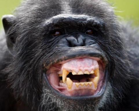 scimpanzé Santino