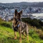 cani-lavoratori-andrew-fladeboe-cani poliziotto