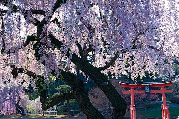 ciliegi-in-fiore-Brooklyn-Botanic-Gardens-©-Jake-Rajs-.jpg