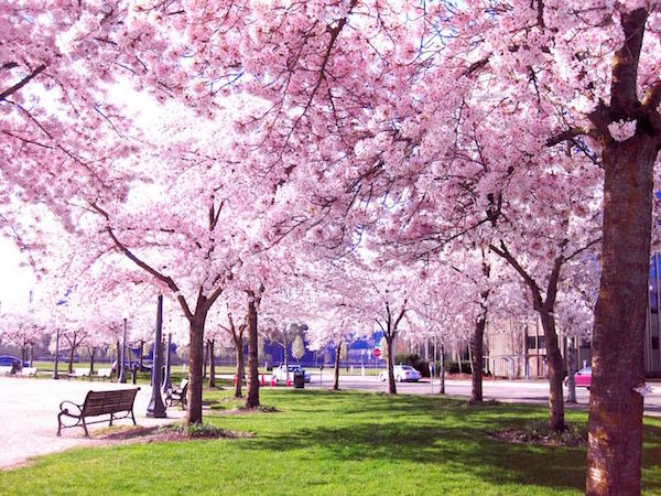 ciliegi-in-fiore-Copenhagen-Sakura-Festival-foto-Scandinavia-Standard.jpg