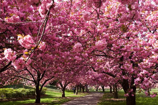 ciliegi-in-fiore-Giappone-Sakura-magazine.jpg