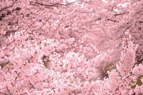 ciliegi-in-fiore-Japanisches-Kirschblütenfest-amburgo.jpg