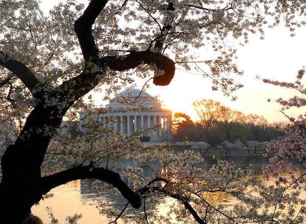 ciliegi-in-fiore-National-Cherry-Blossom-Festival-Washington-2.jpg