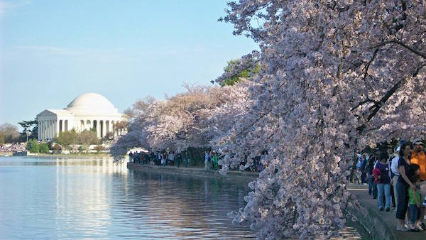ciliegi-in-fiore-National-Cherry-Blossom-Festival-Washington.jpg