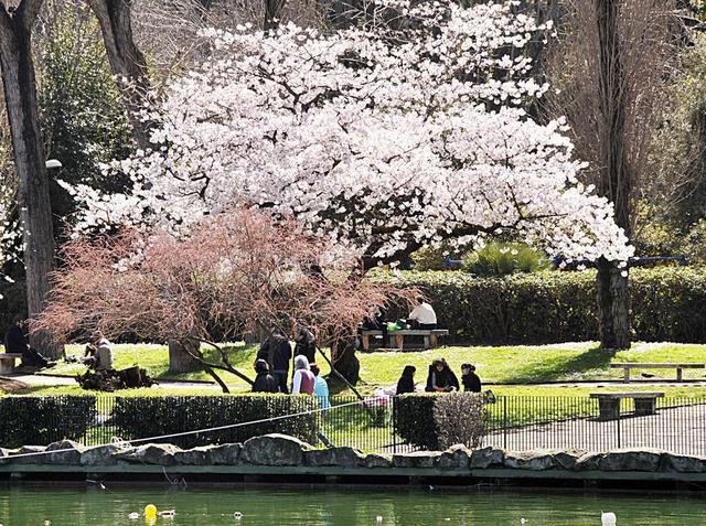 ciliegi-in-fiore-Passeggiata-del-Giappone-Roma.jpg