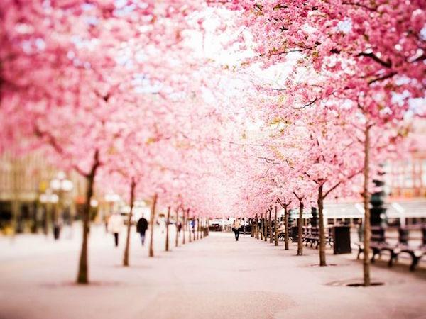 ciliegi-in-fiore-Stoccolma-olycom.jpg