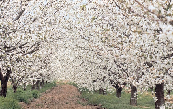 ciliegi-in-fiore-Valle-del-Jerte.jpg
