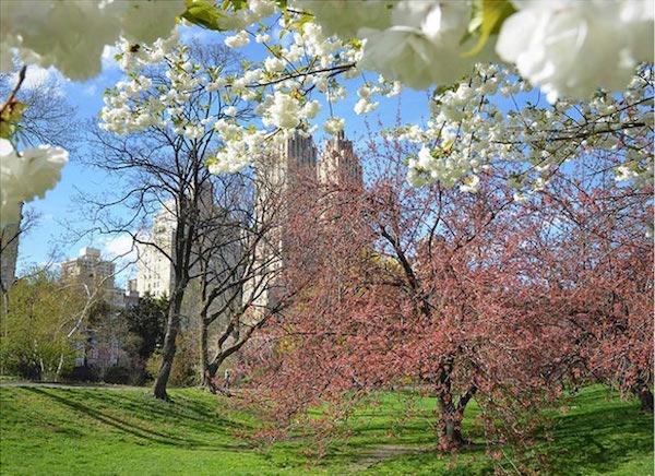 ciliegi-in-fiore-central-park-central-park-com.jpg