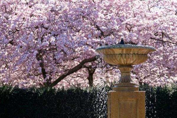 ciliegi-in-fiore-londra-royal-parks.jpg