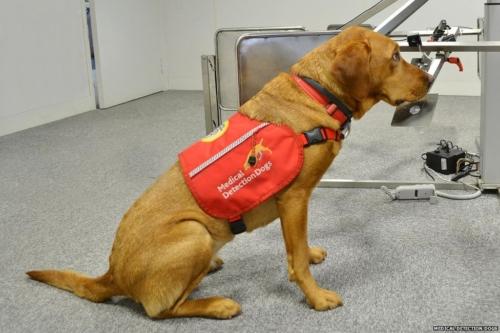 Cane della medical detection dog Foto: www.bbc.co.uk