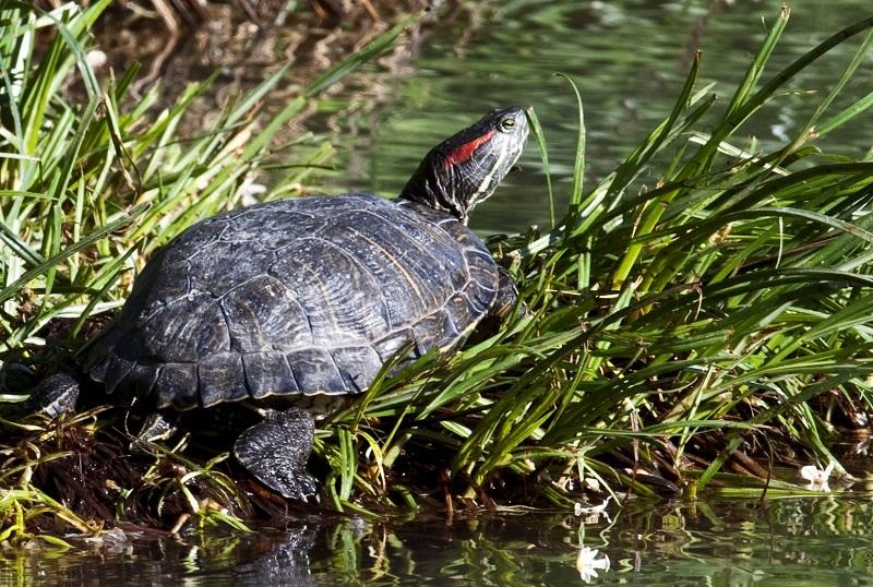 Tartaruga palustre americana (foto archivio Progetto ASAP)