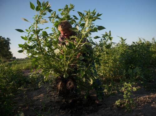 Mr. Harper sradica a mano una pianta di amaranto dalla sua coltivazione. Foto: nytimes.com