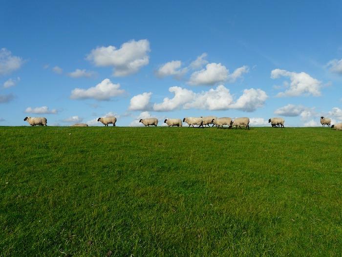 alpeggio gregge pecore