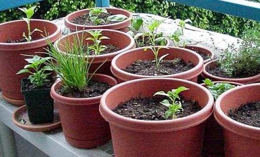 Erbe aromatiche: si coltivano facilmente in vasi sul balcone o sul davanzale.