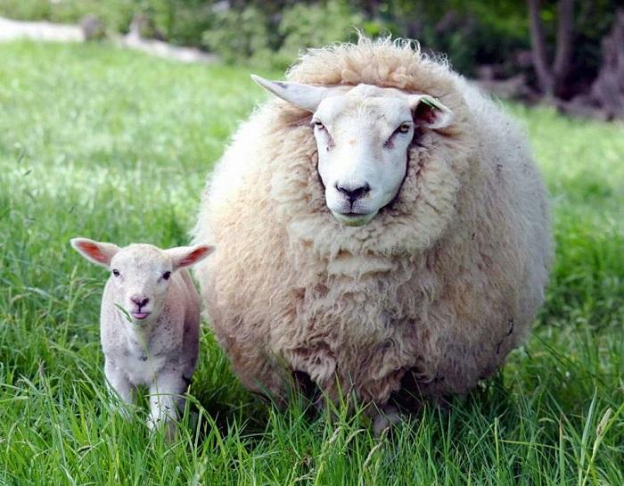 Pecore e agnellini