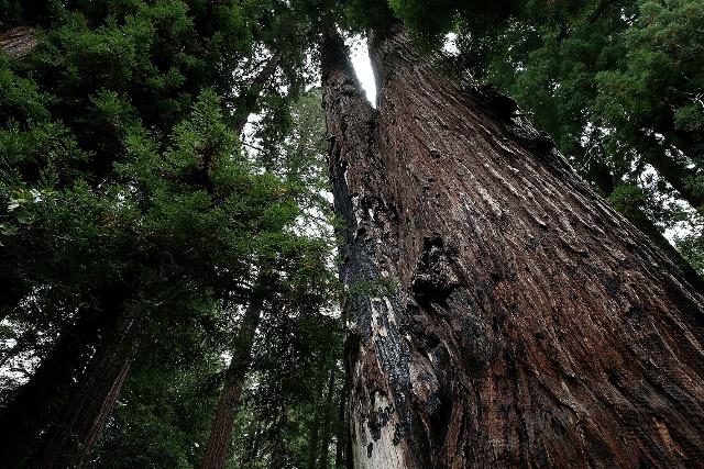 Sequoie Foto by Justin Sullivan/Getty Images