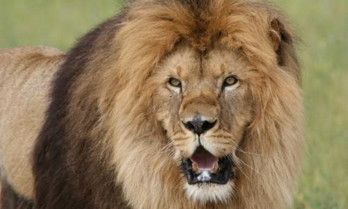 Lion Ark: Bam Bam, uno dei 25 leoni liberati.