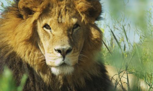 Lion Ark: Colo Colo, un altro dei 25 esemplati salvati dalle gabbie dei circhi in Bolivia.