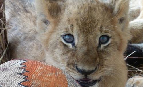 Lion Ark: tra gli esemplari salvati anche dei cuccioli con la madre.