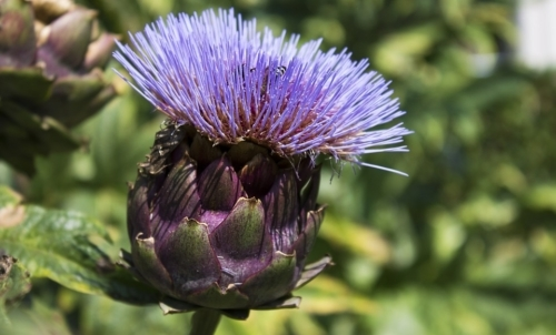Carciofo: si distinguono numerose varietà anche in base al colore del capolino.