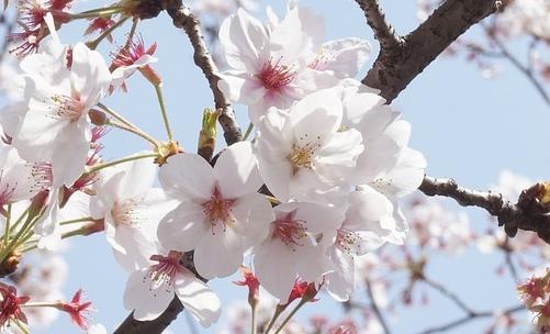Ciliegie: la fioritura degli alberi è uno spettacolo molto apprezzato in Giappone e noto come Hanami.