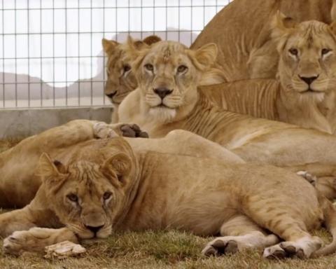 Lion Ark: il documentario sulla fine dei circhi in Bolivia