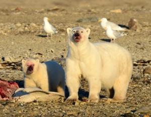 Due orsi bianchi fotografati durante il viaggio dell'agosto 2016