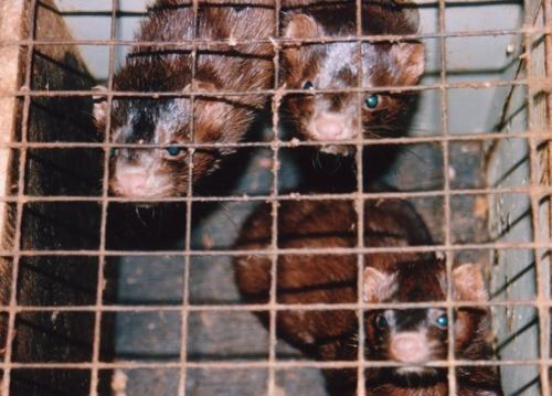 La Repubblica Ceca introduce il divieto di allevamento di animali da pelliccia (fonte: lav.it)