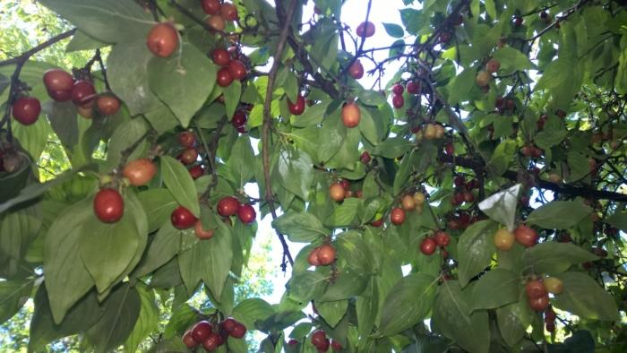 Frutti del corniolo