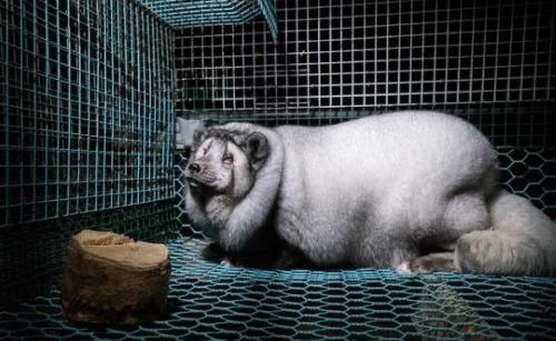 Volpi: in questi allevamenti il loro peso aumenta da 3,5 kg a oltre 19.