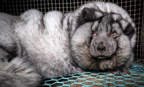 Volpi: in Finlandia sono allevate per la loro pelliccia.
