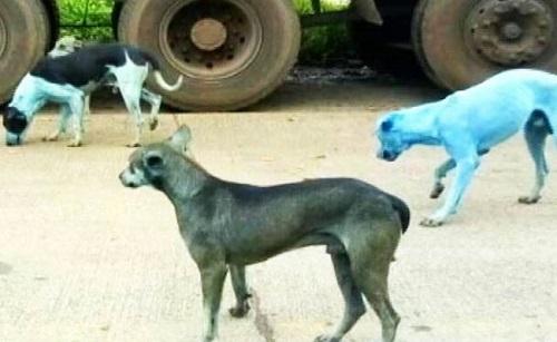 I cani blu di Mumbai, India.