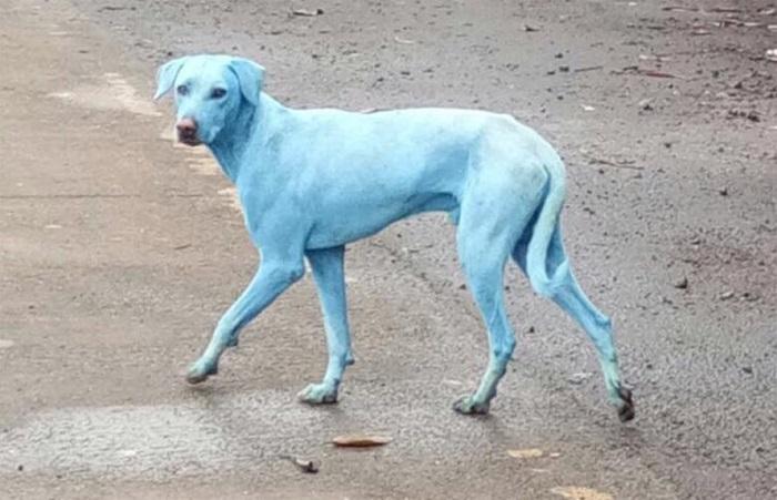 cani-blu