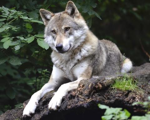 Il lupo al Forte di Exilles