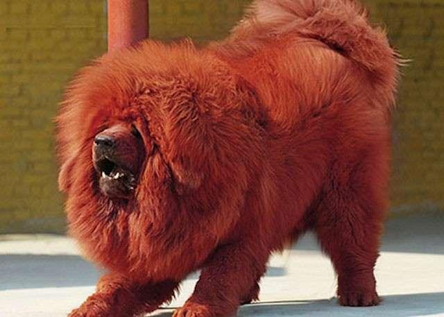 mastino tibetano rosso
